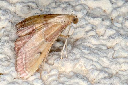 Endotricha flammealis, Lodz(Poland)02(js).jpg