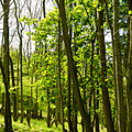 England - English Summer Woods (7183010018).jpg