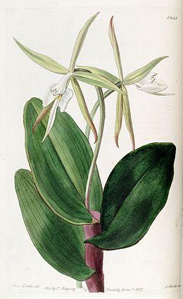 Epidendrum nocturnum - Edwards' vol. 23 pl 1961 (1827)