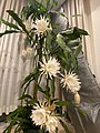 Epiphyllum Oxypetalum (Queen of the night) JPN1.jpg