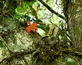 Epiphytic orchid 2.jpg