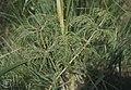 Equisetum sylvaticum, Vorhegg boggy wood, 1977 (30986482586).jpg