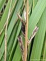 Ergot Claviceps purpurea on Reed Canary Grass Phalaris arundinacea (25056693518).jpg