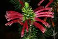 Erica abietina subsp. abietina 0404.png