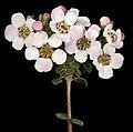 Ericomyrtus tenuior - Flickr - Kevin Thiele.jpg