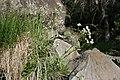 Erigeron strigosus - Flickr - aspidoscelis.jpg