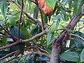 Eriobotrya japonica 2zz.jpg