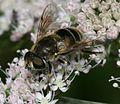 Eristalis arbustorum (female) - Flickr - S. Rae (4).jpg