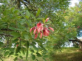 Erythrina crista-galli 2-2.jpg