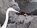 Espanola - Hood - Galapagos Islands - Ecuador (4871535482).jpg