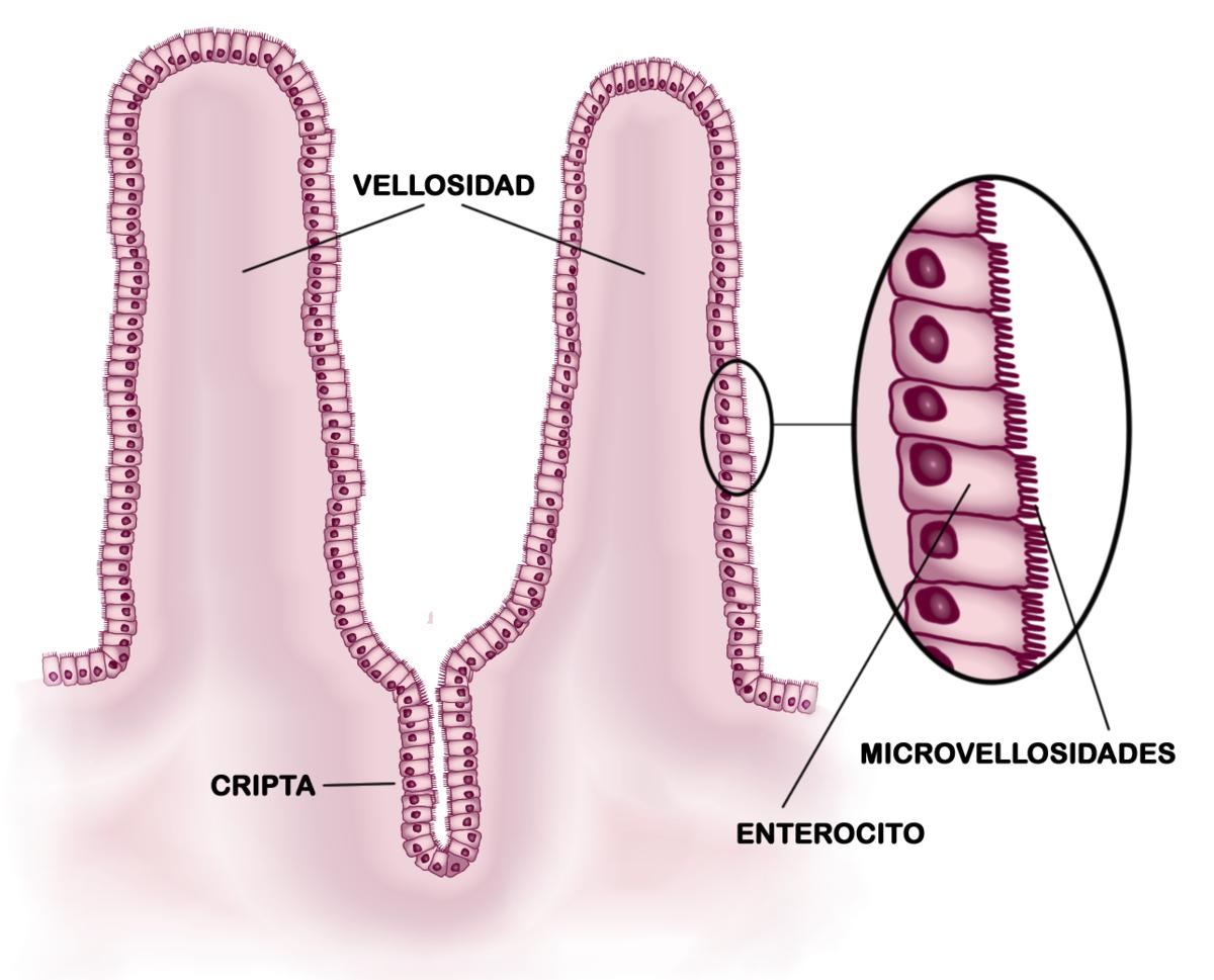 Permeabilidad intestinal - Wikipedia, la enciclopedia libre