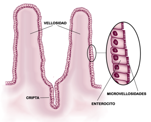 Esquema del epitelio del intestino delgado
