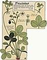 Etude de la plante - p.151 fig.203 - Fraisier.jpg