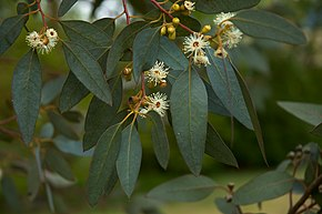 Description de l'image  Eucalyptus gunni flowers.jpg.