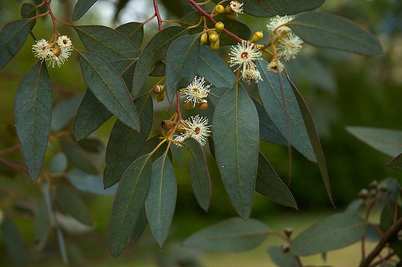 Fichier:Eucalyptus gunni flowers.jpg