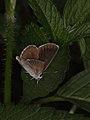 Eumedonia eumedon from Slovakia (7615336362).jpg