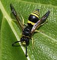 Eumenid wasp sp. - Flickr - S. Rae.jpg
