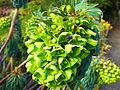 Euphorbia characias subsp. wulfenii in Jardin des Plantes 01.JPG