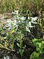 Euphorbia marginata sl1.jpg