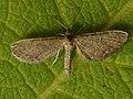 Eupithecia ?pygmaeata - Marsh pug - Цветочная пяденица ясколковая (40056135695).jpg