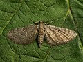 Eupithecia sp. (41351063652).jpg