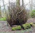 European Lime (Tilia x europaea) with epicormic growth. Anderson Plantation, Lainshaw, East Ayrshire.jpg