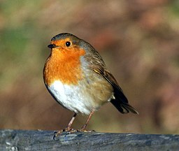 https://upload.wikimedia.org/wikipedia/commons/thumb/9/91/European_Robin%2C_London.jpg/256px-European_Robin%2C_London.jpg