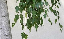 European birch summer leaves and green cone.jpg