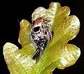 Evarcha falcata - Springspinne mit Beute 4264.JPG