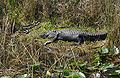 Everglades Alligator-babies.jpg