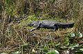 Everglades Alligator-babies.jpg