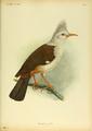 Extinctbirds1907 P1 Fregilupus varius0281.png