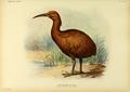 Extinctbirds1907 P29 Aphanapteryx bonasia0349.png