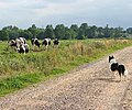 Eyeing the cows - geograph.org.uk - 1442555.jpg