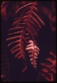 FERNS BURNED FROM OVEREXPOSURE TO THE SUN BECAUSE THE LAND WAS CLEAR-CUT AND BURNED SIX YEARS EARLIER IN OLYMPIC... - NARA - 555190.tif