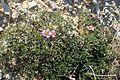Fagonia cretica kz6.jpg