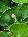 Fagus sylvatica 123222259.jpg