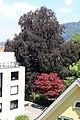 Fagus sylvatica f. purpurea, Bregenz 02.jpg