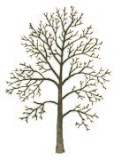 Fagus sylvatica tree illustration.jpg
