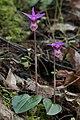 Fairy slipper (Calypso bulbosa var. occidentalis) (26967395247).jpg