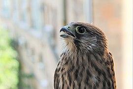 Falco tinnunculus in Yerevan 07.jpg