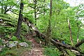 Fallen tree blocking the path, by the Esk - geograph.org.uk - 1333466.jpg