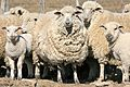 Family Sheep Portrait (6079902850).jpg