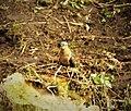 Fan-tailed Cuckoo. Cacomantis flabelliformis (48885371088).jpg