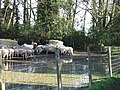 Feeding time for the sheep - geograph.org.uk - 340757.jpg
