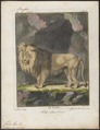 Felis leo - 1700-1880 - Print - Iconographia Zoologica - Special Collections University of Amsterdam - UBA01 IZ22100015.tif