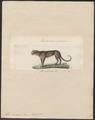 Felis viverrina - 1834 - Print - Iconographia Zoologica - Special Collections University of Amsterdam - UBA01 IZ22100374.tif