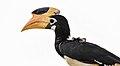 Female malabar pied hornbill in Sri Lanka.jpg
