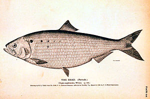 English: Female shad fish (Clupea sapidissima)