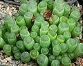 Fenestraria aurantica 1.jpg